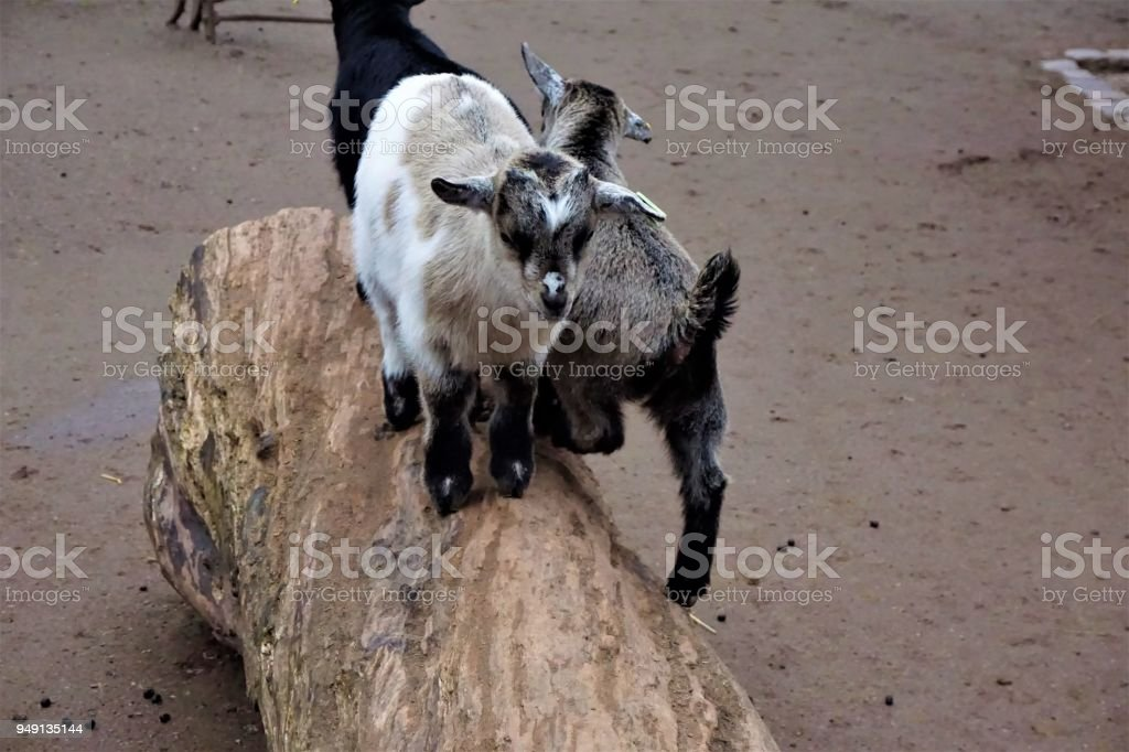 Baby goats standing on a trunk stock photo