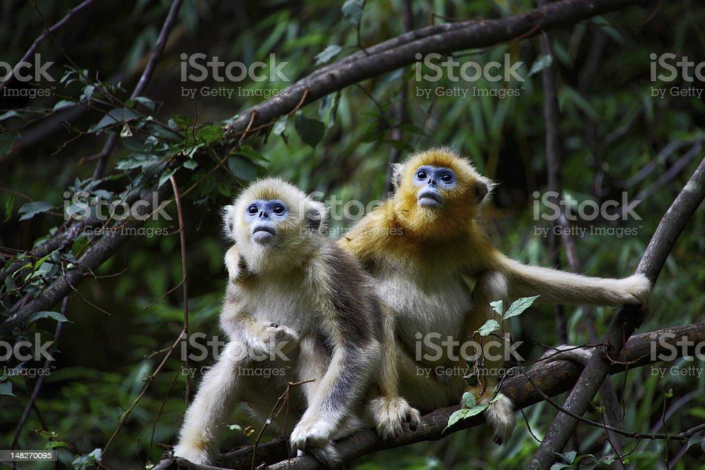 baby Golden Monkey stock photo