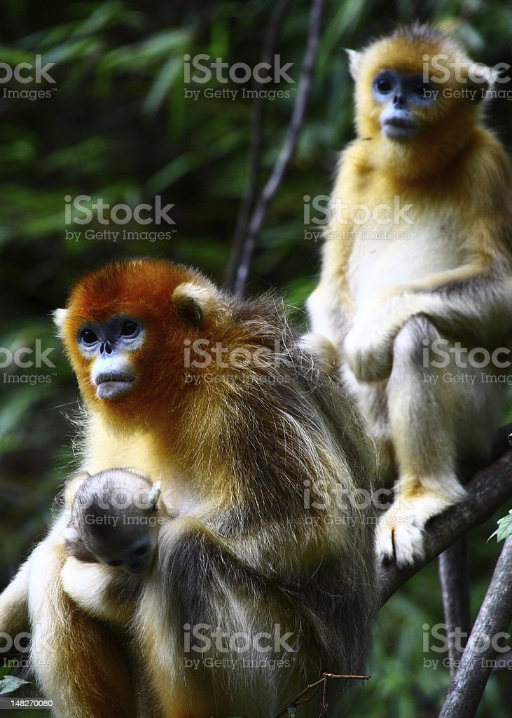 baby Golden Monkey with mother stock photo