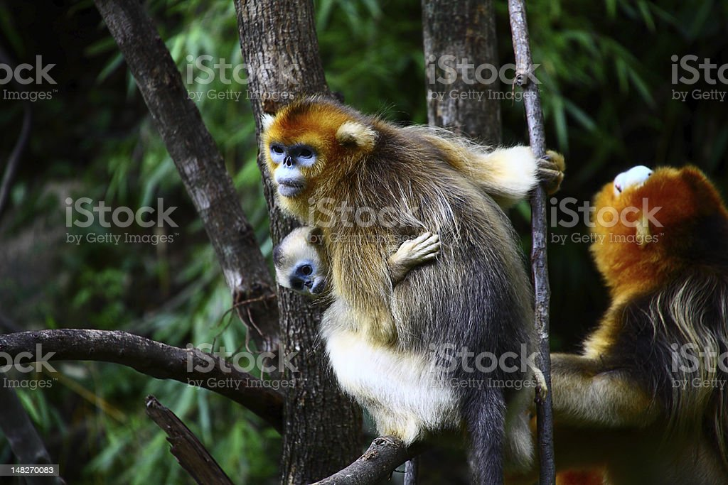 baby Golden Monkey with mother royalty-free stock photo