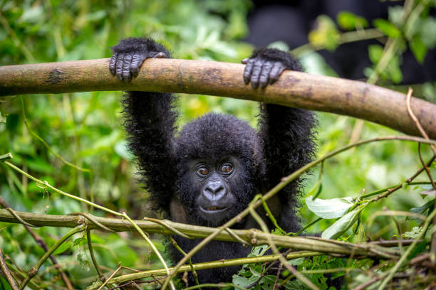 a baby gorila inside the virunga national park - gorilla stock photos and pictures