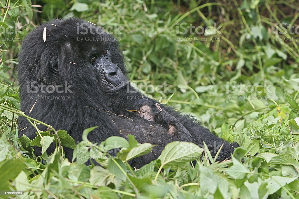 Baby Gorilla in mother's arms royalty-free stock photo