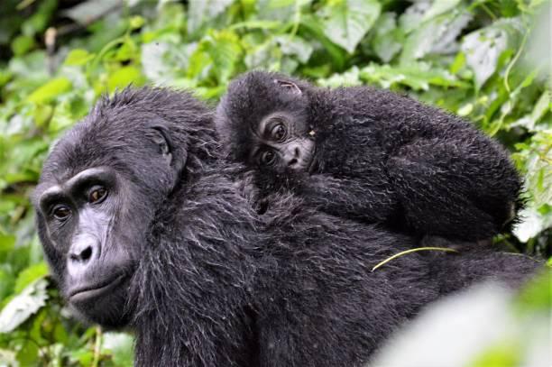 bebé gorilla - gorila fotografías e imágenes de stock