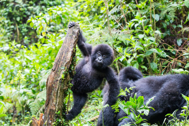 a baby gorilla playing on a broken tree - rwanda - wildlife conservation stock photos and pictures