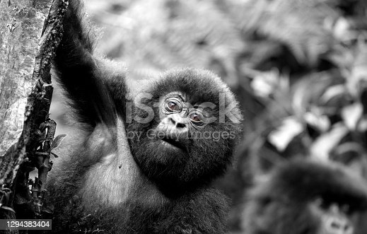 Within the parc national des volcans- Rwanda.  Black and White with coloured eyes.