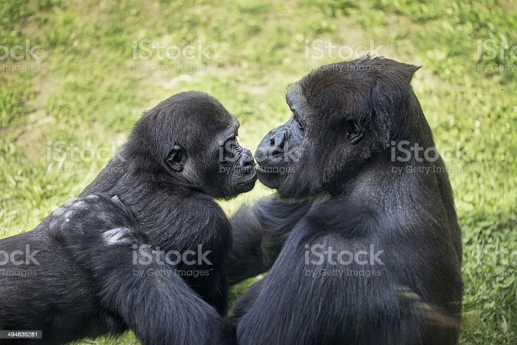 baby gorilla with mother stock photo