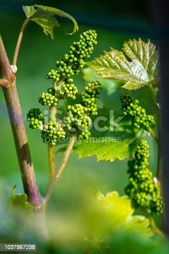 Baby Grapes on Vine