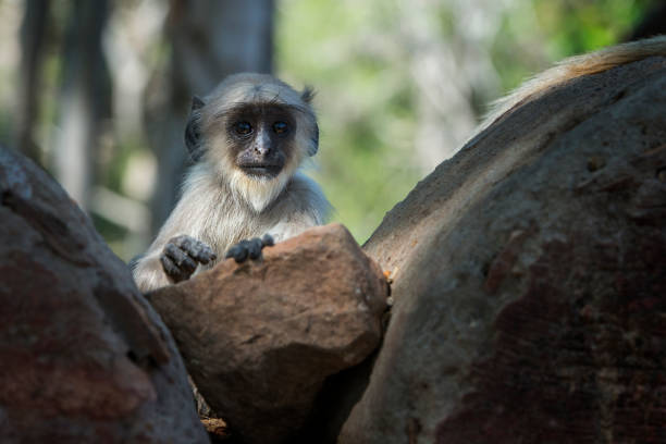Baby Gray langur, Ranthambhore, Rajasthan, India A Baby Gray langur playing in the rocks of Ranthambhore National Park, Rajasthan, India langur stock pictures, royalty-free photos & images