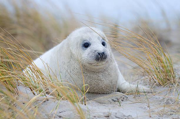 Baby Gray Seal vor Beach Gras – Foto