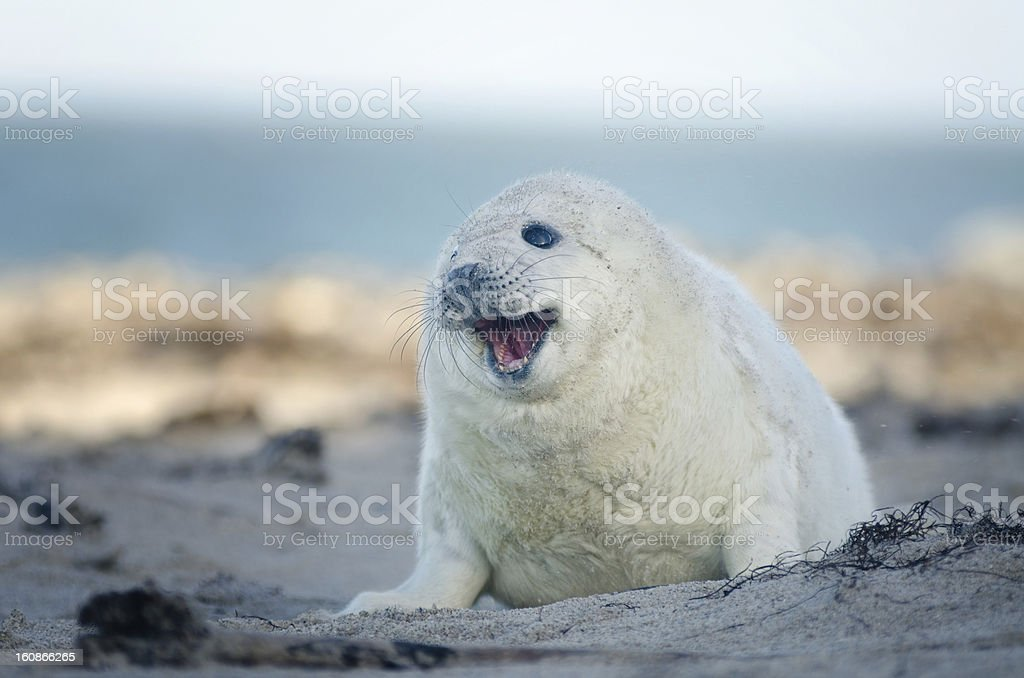 Baby Gray Seal with open Moth stock photo