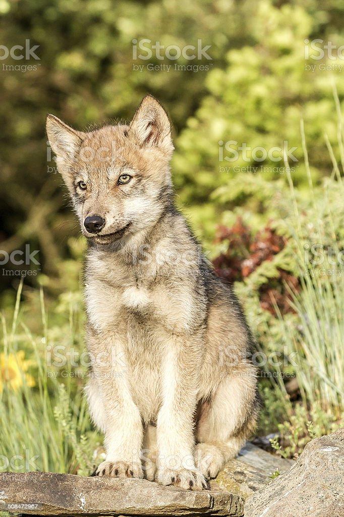 Baby Gray Wolf stock photo