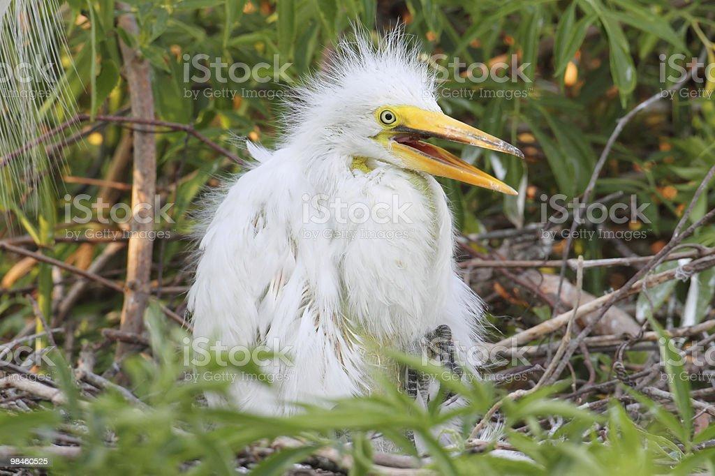 Baby Great Egret (Ardea alba) royalty-free stock photo