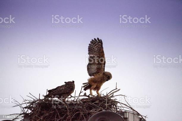 Baby great horned owlet bubo virginianus practices flying by holding picture id1136475771?b=1&k=6&m=1136475771&s=612x612&h=hph7hcg6xh5yf9t9foquqh4dtpkjv7xddoidoaj7lqw=