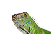 Baby Green Iguana on isolated white background