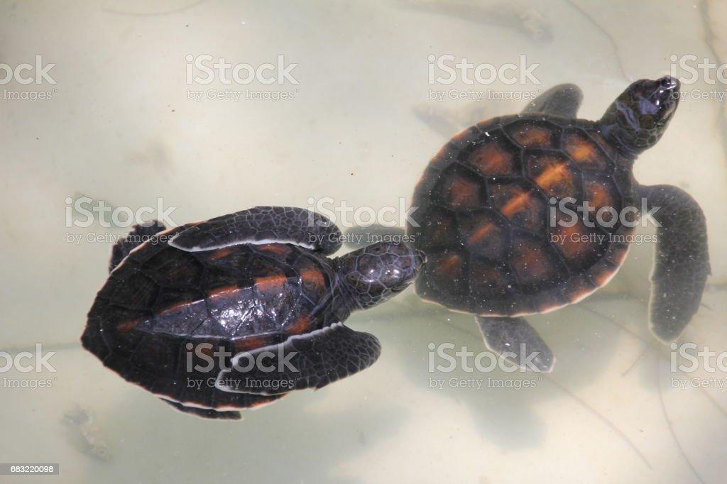 嬰兒綠海龜, 海龜海龜, Nungwi, 桑吉巴, 坦尚尼亞, 印度洋, 非洲 免版稅 stock photo
