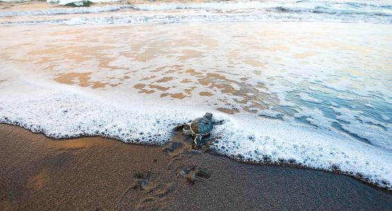 Green Sea Turtle (Chelonia mydas), Hatchling Entering the Ocean, Tortuguero National Park, Costa Rica