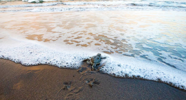 Baby Green Sea Turtle dashing to the Sea Green Sea Turtle (Chelonia mydas), Hatchling Entering the Ocean, Tortuguero National Park, Costa Rica limoen stock pictures, royalty-free photos & images