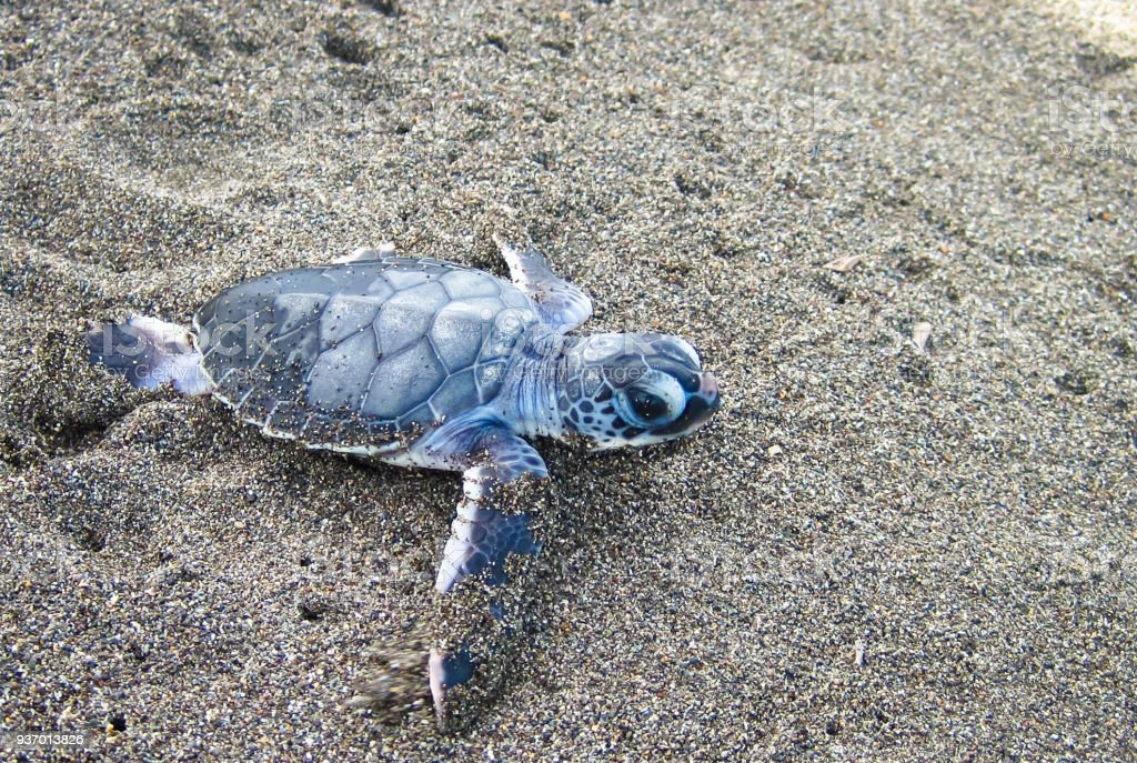 Baby Grüne Meeresschildkröte Überschrift Für Das Meer In Costa Rica ...