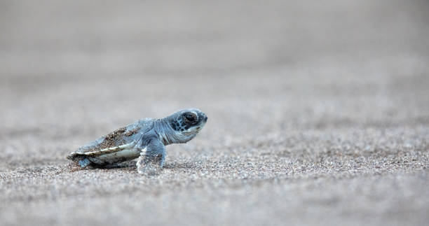 Baby Green Sea Turtle pauses on the beach while making its way to the sea Green Sea Turtle (Chelonia mydas), hatchling, Tortugeuro National Park, Costa Rica limoen stock pictures, royalty-free photos & images