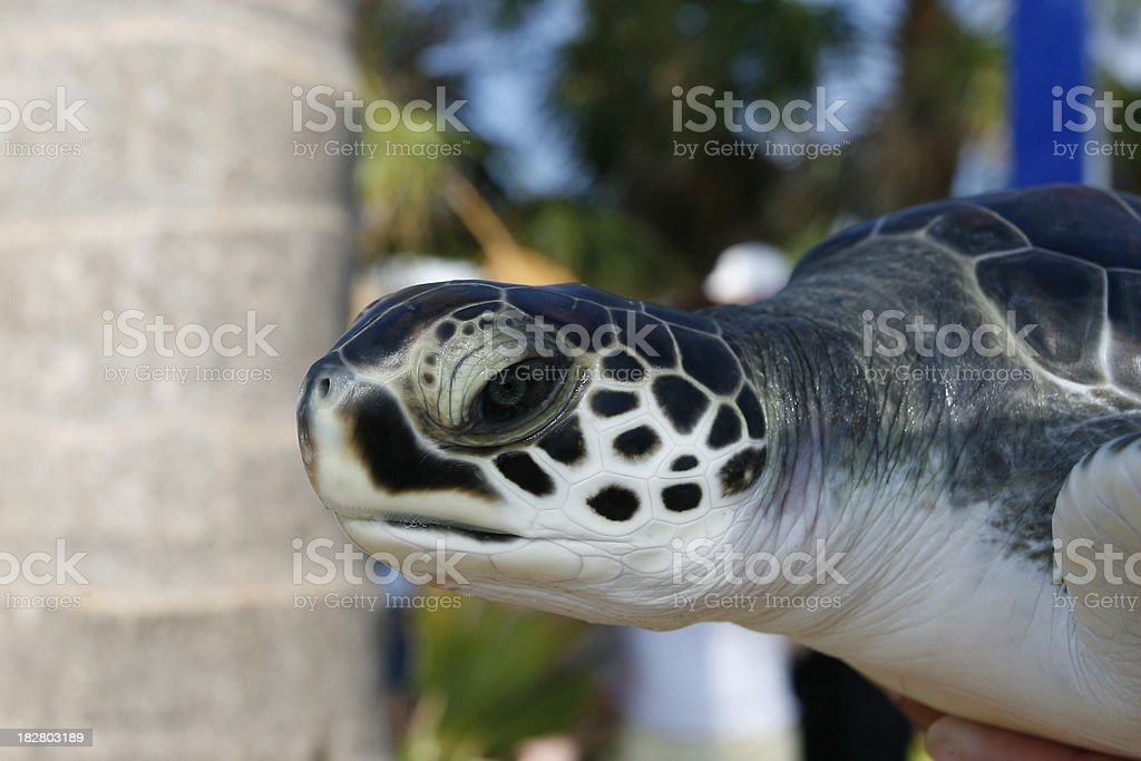 Baby Green Sea Turtle royalty-free stock photo