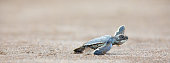 Green Sea Turtle (Chelonia mydas), hatchling, Tortugeuro National Park, Costa rica