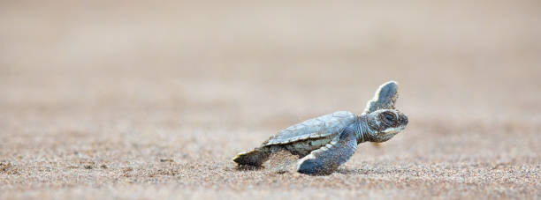 A baby green sea turtle scurries across the beach to get to the safety of the ocean Green Sea Turtle (Chelonia mydas), hatchling, Tortugeuro National Park, Costa rica limoen stock pictures, royalty-free photos & images