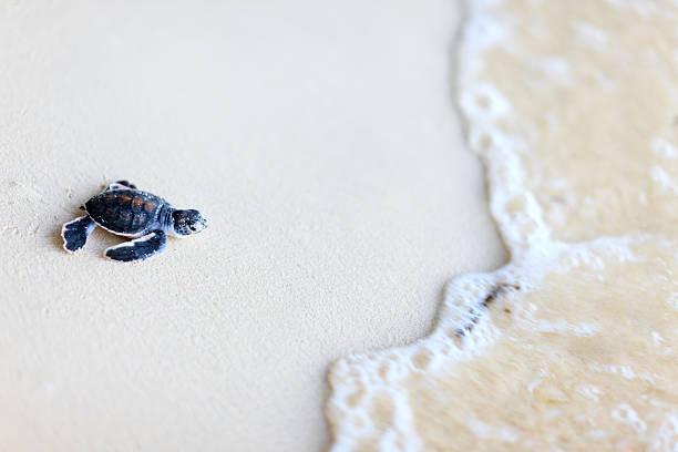 Baby green turtle stock photo