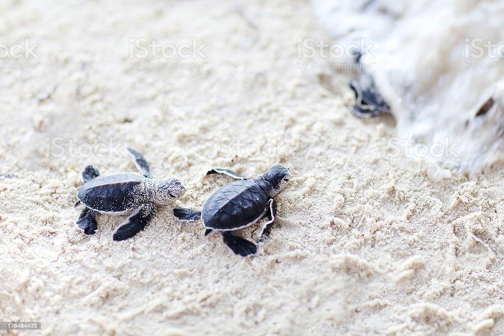 Baby green turtles stock photo