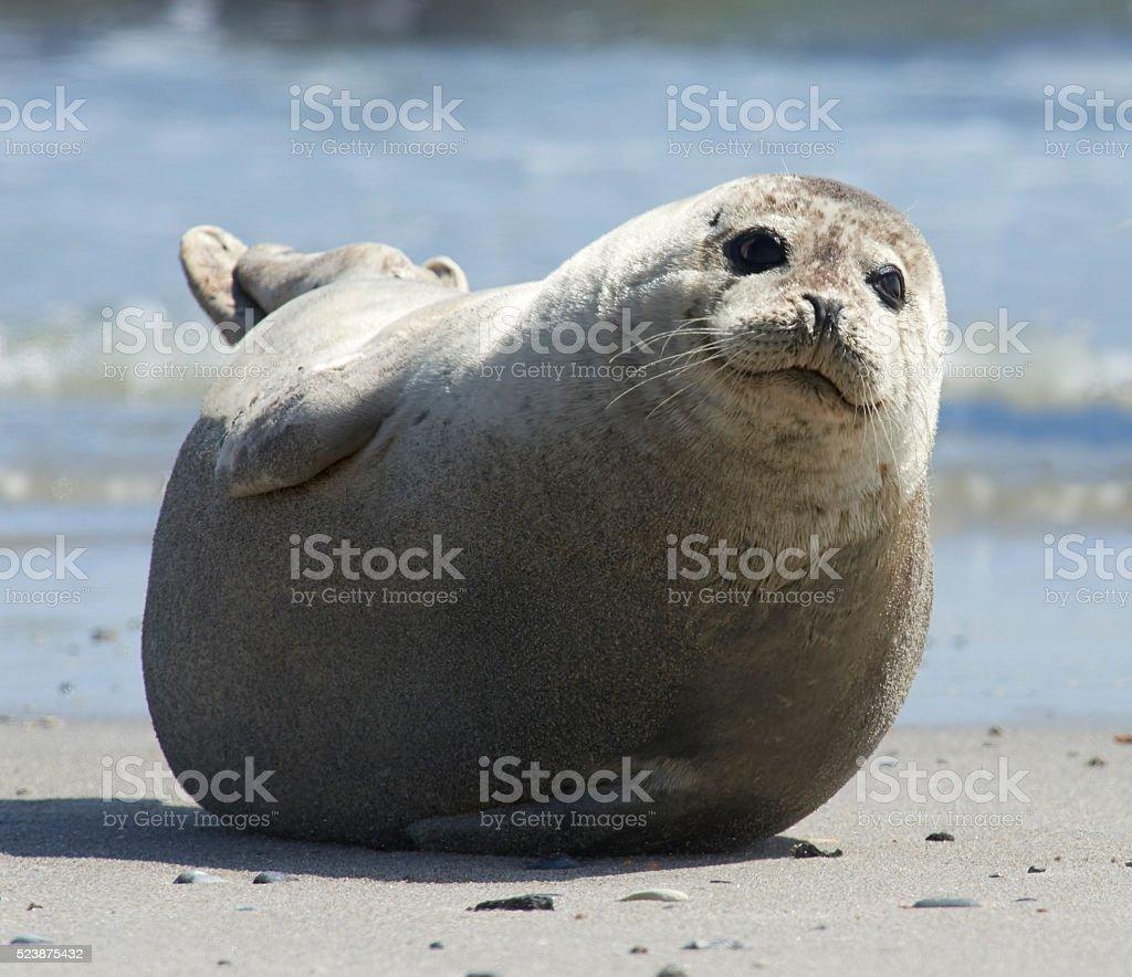 Baby grey seal moving forward at the beach at helgoland stock photo