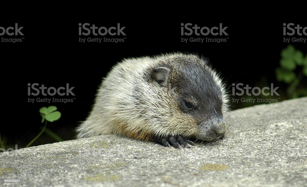 baby terra hog foto stock royalty-free