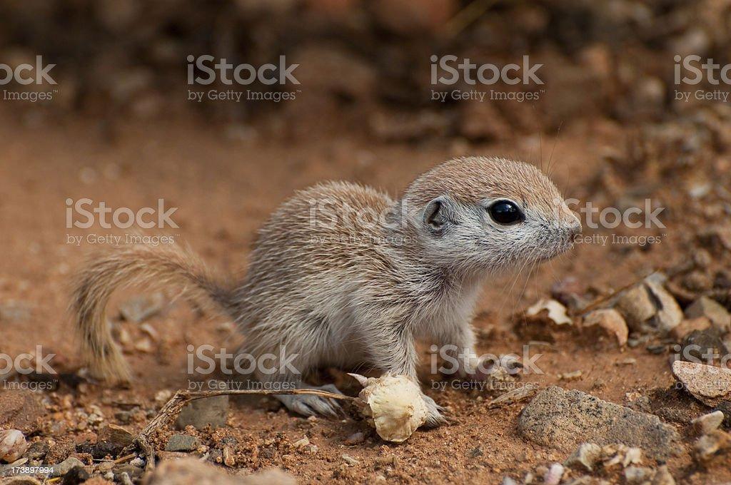 Baby Ground Squirrel stock photo