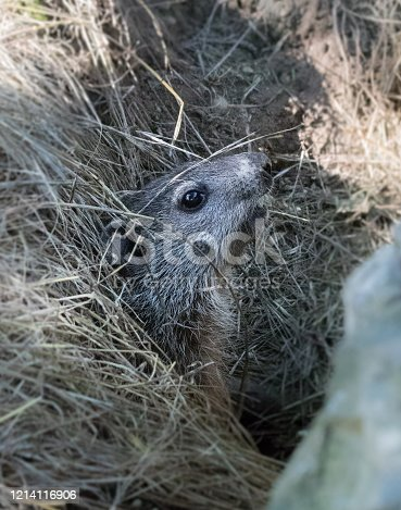 A young groundhog in profile as it sits motionless at the entrance to its den