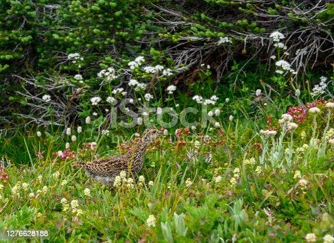 Baby Grouse In the Under Brush alongside trail