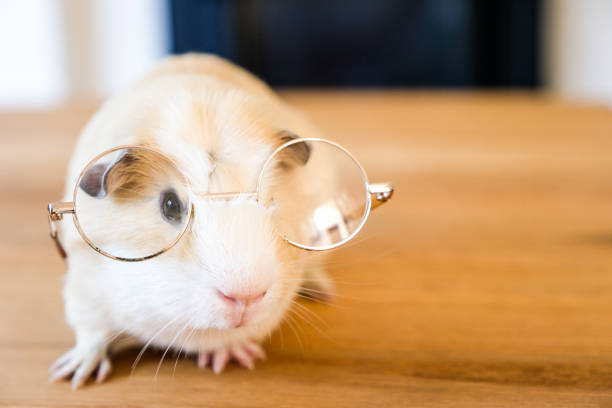 Baby guinea pig wearing reading glasses picture id857171290?b=1&k=6&m=857171290&s=612x612&w=0&h=c j2s3dy5hcxbacca7pse p3th2vqm6ruejcct1wbca=