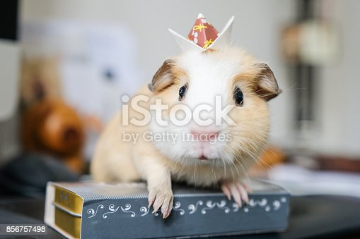Close up of a baby guinea pig with an origami crown on head