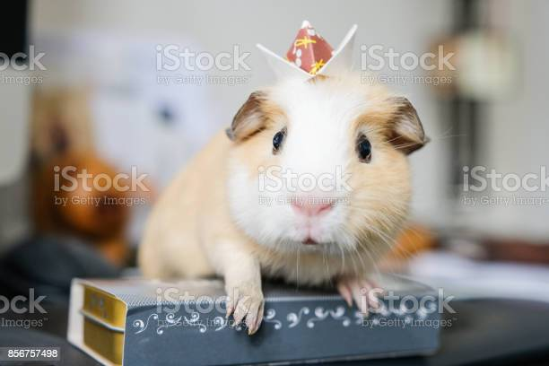 Baby guinea pig with an origami crown on head picture id856757498?b=1&k=6&m=856757498&s=612x612&h= fwbroa  sudyh0o3oybsdv8ctvfvzcx9051izszsz4=
