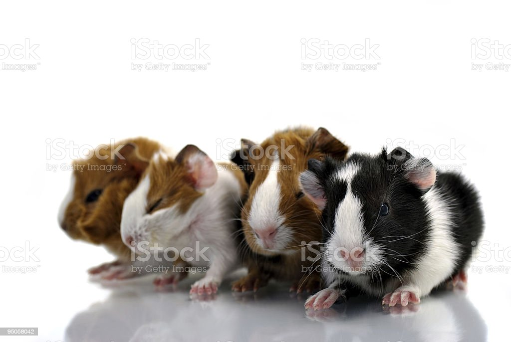 Baby guinea pigs royalty-free stock photo