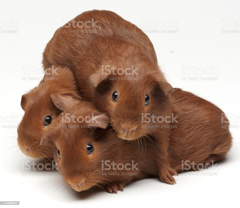 Baby Guinea Pigs Playing royalty-free stock photo