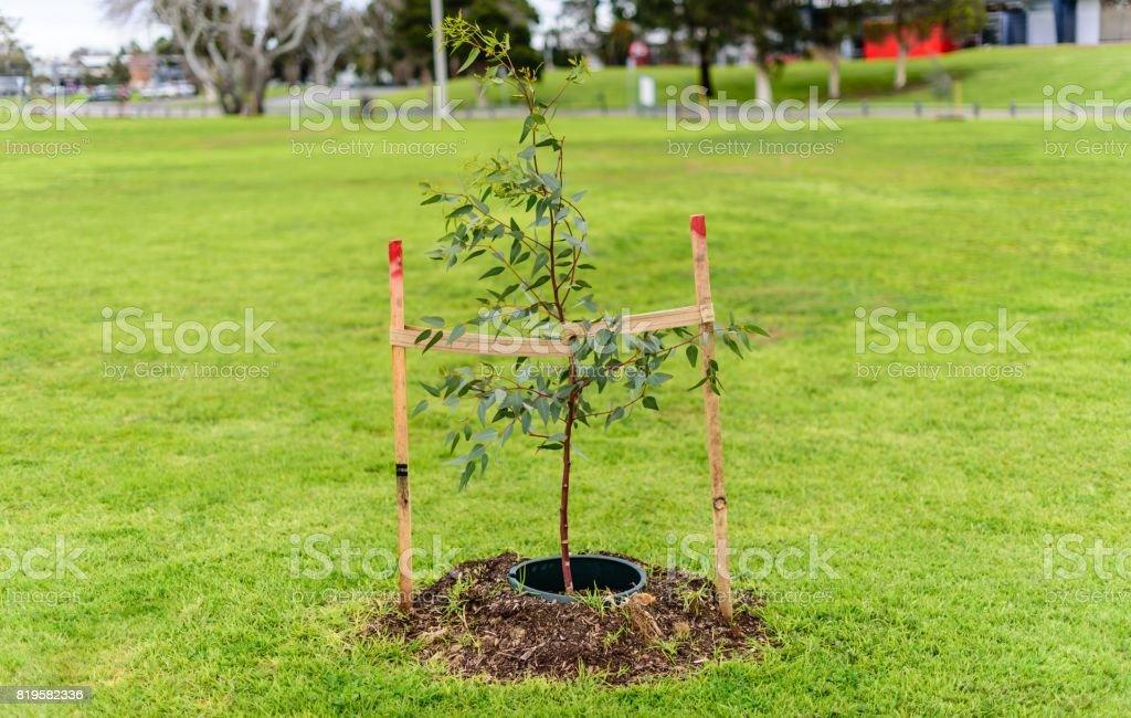 Baby Gum Tree stock photo