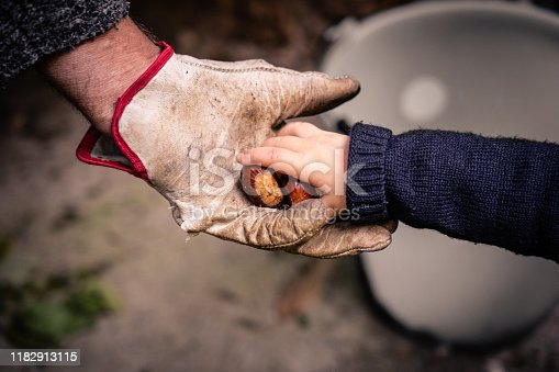 baby hand give fresh chestnut to adult hand