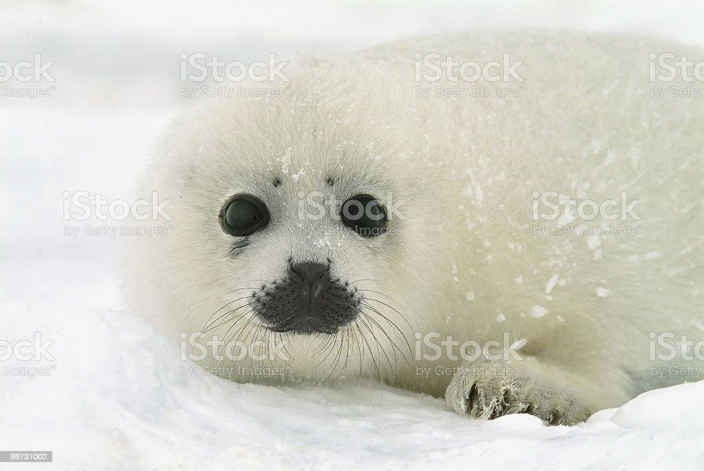 baby harp seal pup on ice in north atlantic 免版稅 stock photo