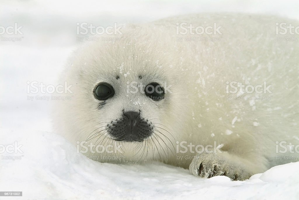 baby harp seal pup on ice in north atlantic stock photo