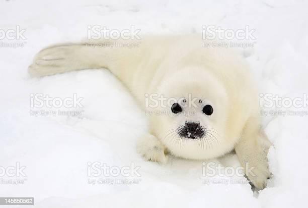 Baby harp seal pup on ice of the white sea picture id145850562?b=1&k=6&m=145850562&s=612x612&h=gtx2sjcnzje5xbf2ad gvcoyjokshbxgltvqldqjglw=