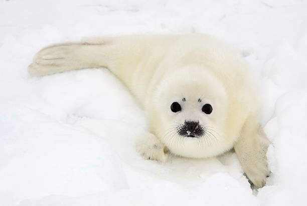 Baby harp seal pup on ice of the White Sea Baby harp seal pup on ice of the White Sea seal pup stock pictures, royalty-free photos & images