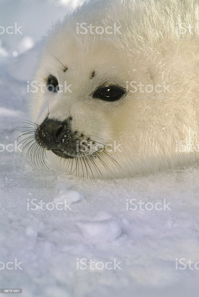 baby harp seal pup on ice royalty free stockfoto