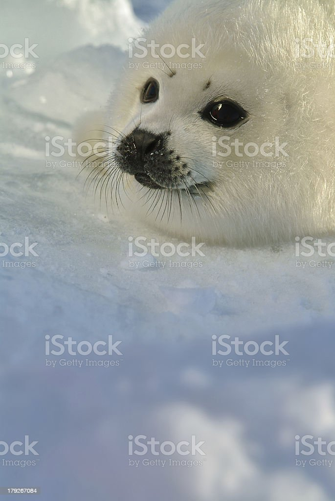 baby harp seal pup on ice with copy space stock photo