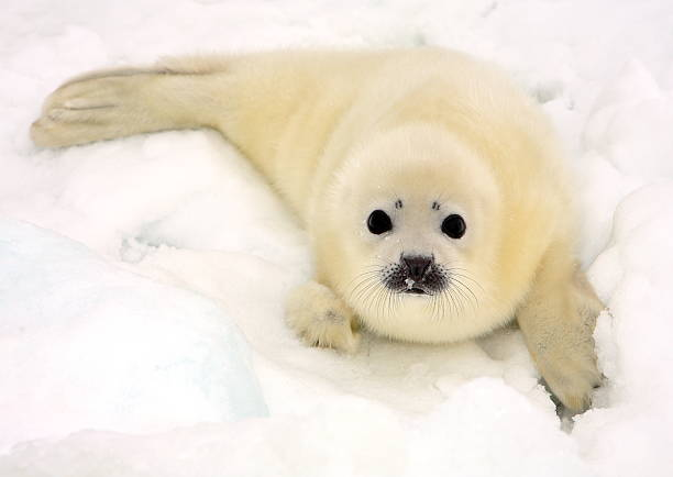 Baby harp seal pup Baby harp seal pup on ice of the White Sea seal pup stock pictures, royalty-free photos & images