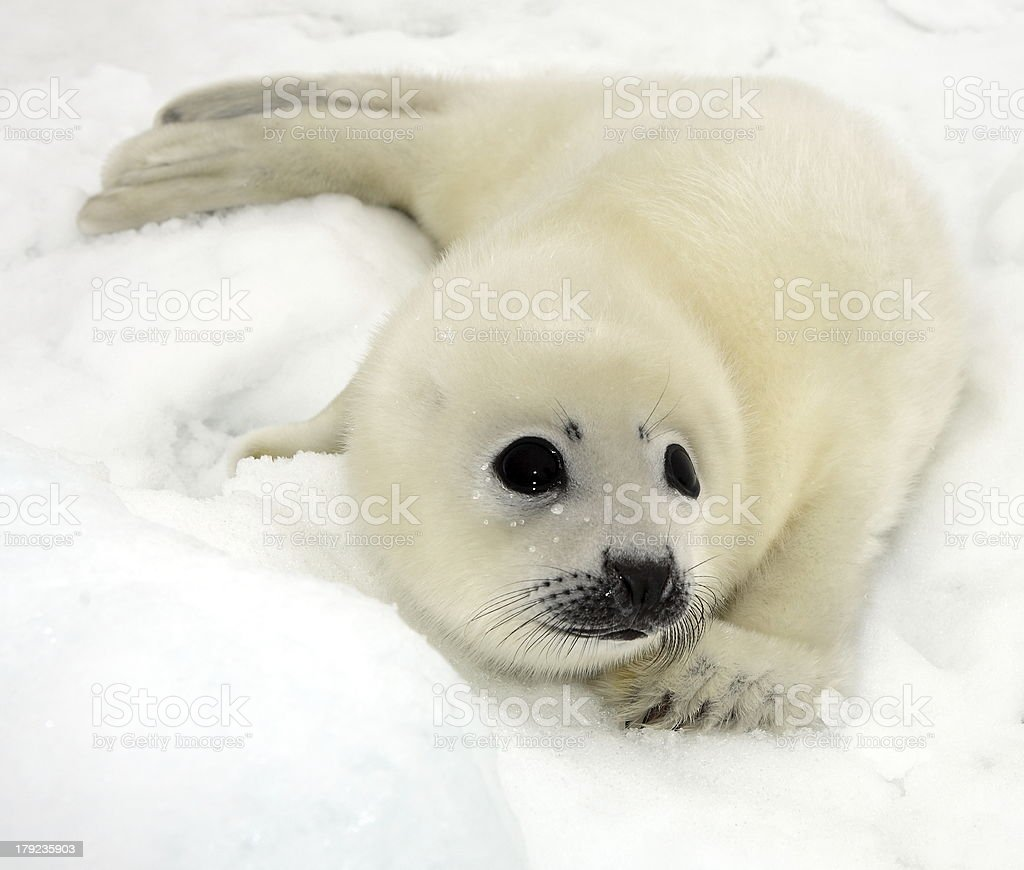 Baby harp seal pup stock photo