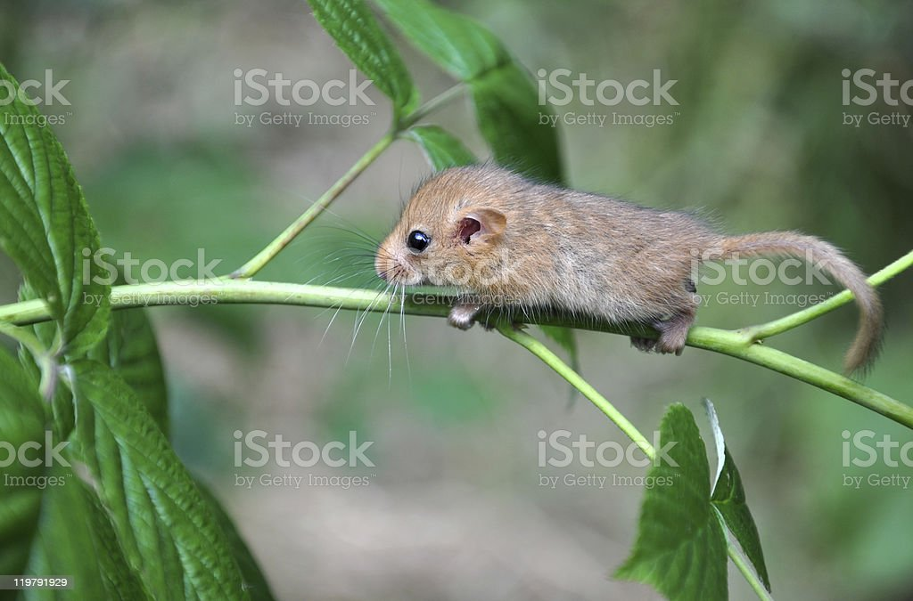 Baby hazel dormouse hanging on a branch stock photo