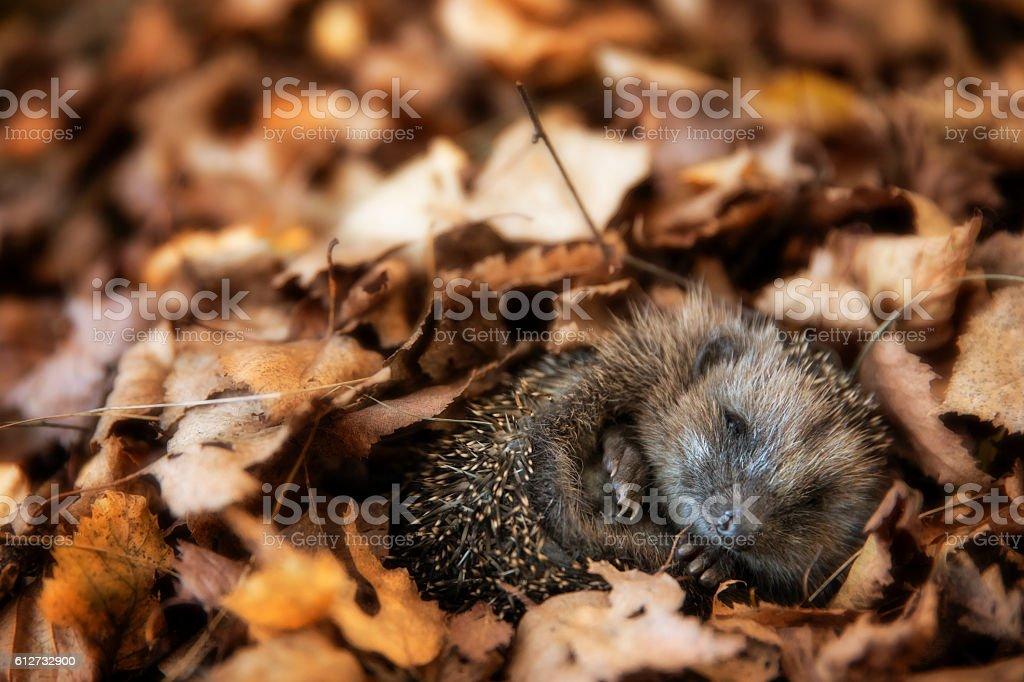 Baby hedgehog is sleeping in autumn leaves stock photo